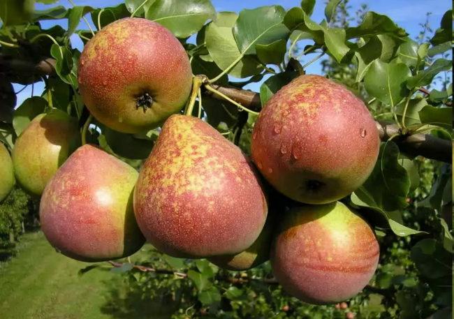 Ветка груши сорта Мраморная с плодами красно-желтого цвета