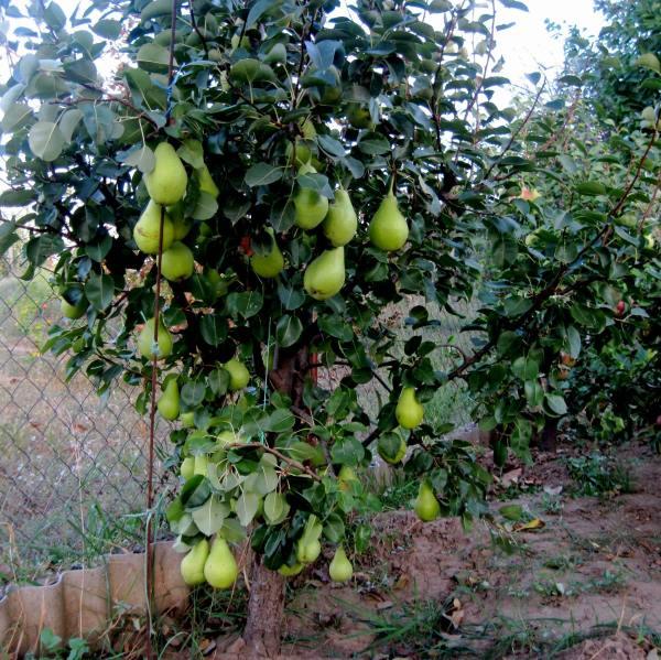 Невысокое деревце груши с зелеными плодами на подвое айвы