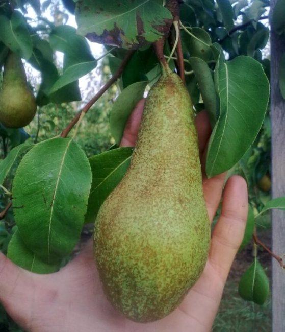 Зеленовато-коричневая груша сорта Аббат Фетель в руке садовода