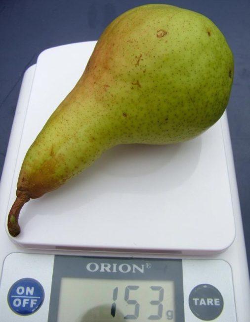 Спелая груша сорта Аббат Фетель массой в 153 грамма на карманных весах