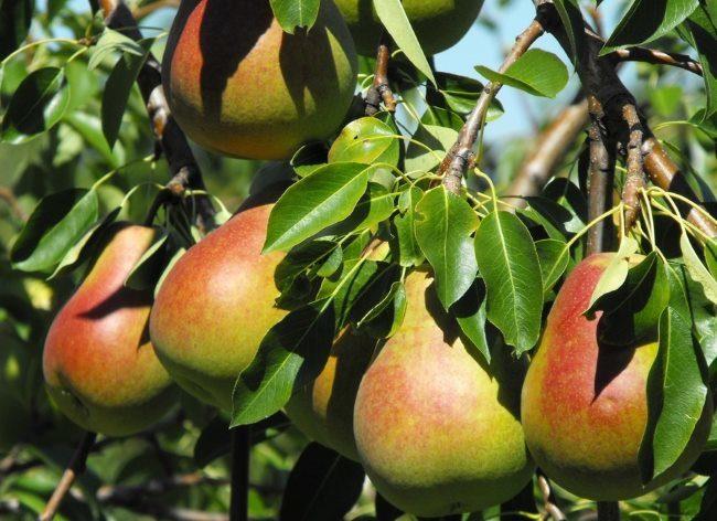 Плоды груши на ветках с зелеными листьями в середине лета