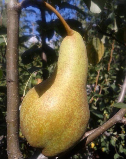 Крупная груша продолговатой формы на ветке дерева