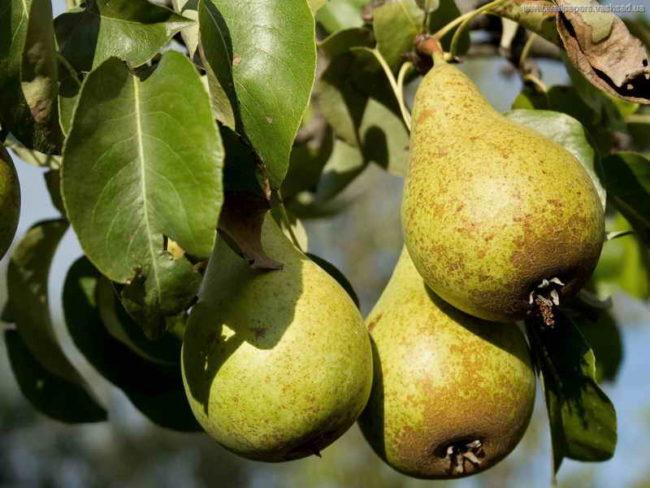 Зеленовато-коричневые плоды груши сорта Отечественная Крымской селекции