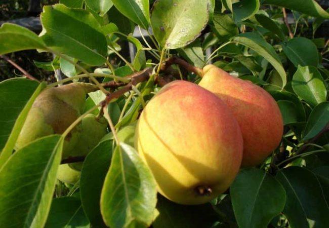 Розово-желтые груши на ветке взрослого дерева сорта Отрадненская