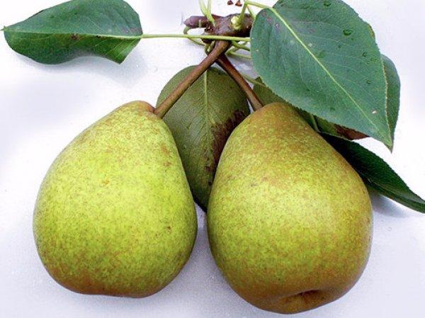 Зеленоватые груши сорта Сказочная с сочной мякотью и слабым ароматом