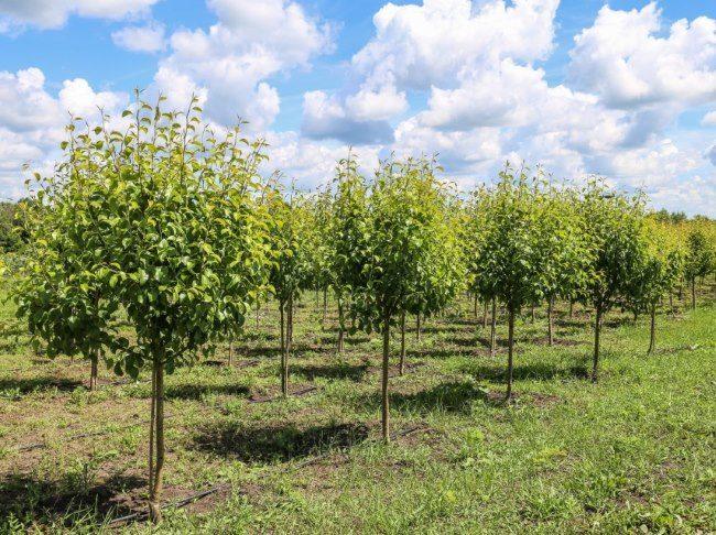 Молодые деревья груши сорта Скороспелка из мичуринска