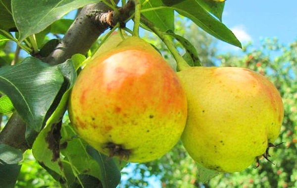 Желто-красные плоды груши сорта Детская раннего срока созревания