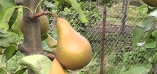 Созревающие плоды груши в Средней полосе России