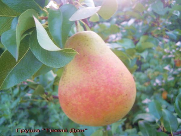 Крупный плод груши гибридного сорта Тихий Дон