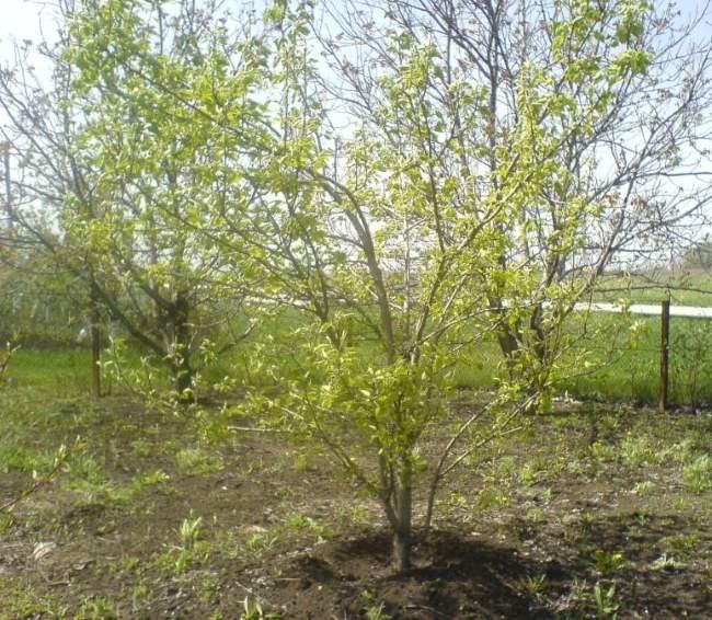 Оптимальное место для выращивания груши в частном саду