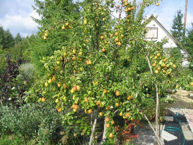 Невысокое деревце груши в период плодоношения в саду Самарской области