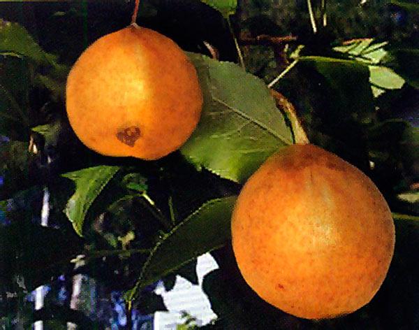 Плоды груши сорта Вестница селекции Свердловской опытной станции садоводства