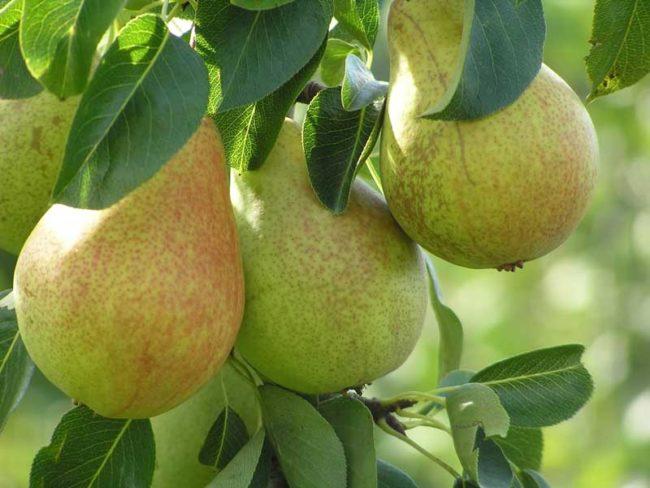 Плоды груши для средней полосы сорта Январская в стадии потребительской спелости