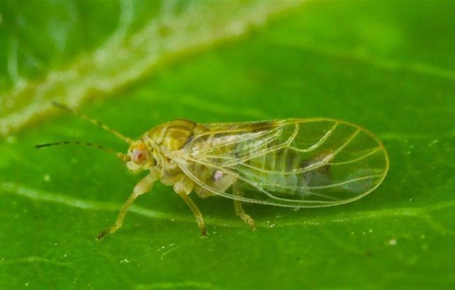 Грушевая медяница крупным планом на фоне зеленого листа