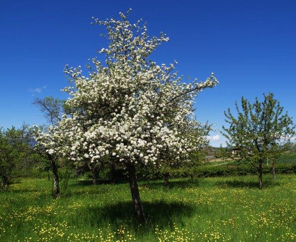 Цветение груши сорта Бере Мичурина отечественной селекции