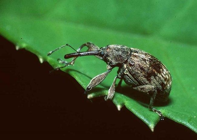 Взрослый жук грушевый цветоед из семейства долгоносиков