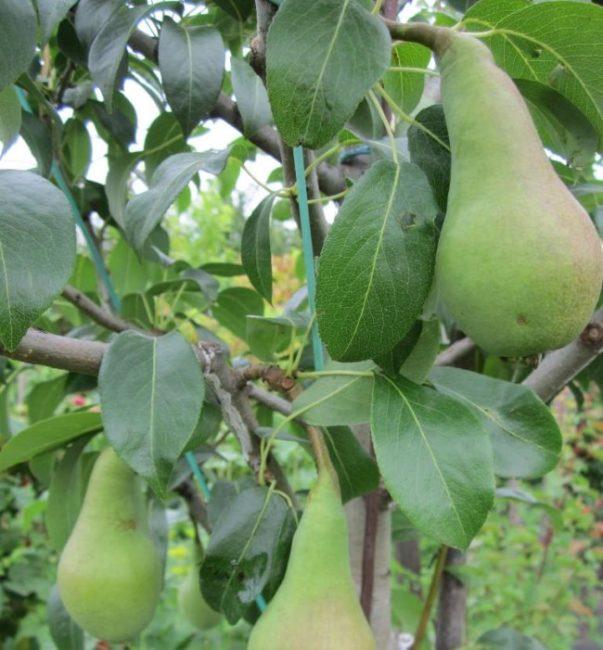 Ветки взрослой груши с зелеными плодами вытянутой формы