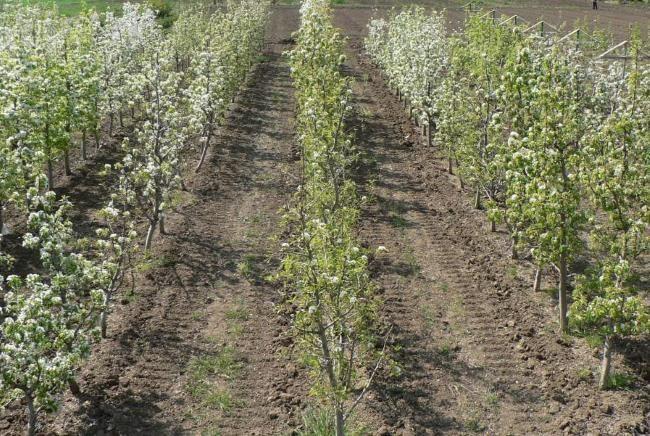 Саженцы груши на поле фермерского хозяйства