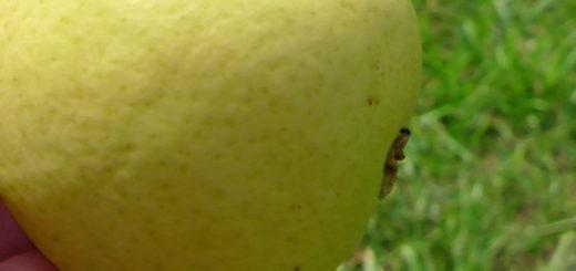 Небольшой спелый плод груши сорта Скороспелка из Мичуринска