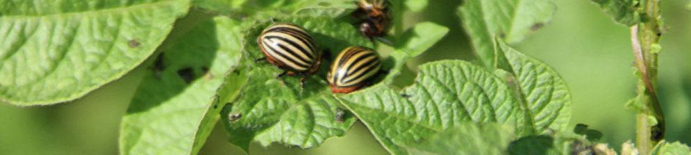 Колорадские жуки доедают лист картошки три особи