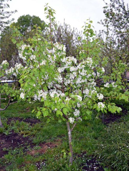 Низкорослое деревце взрослой груши для Северо-западного региона России