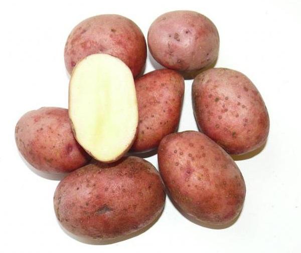 Корнеплоды картофеля универсального сорта Любава