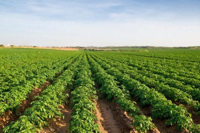 Посадки столового картофеля на фермерском поле