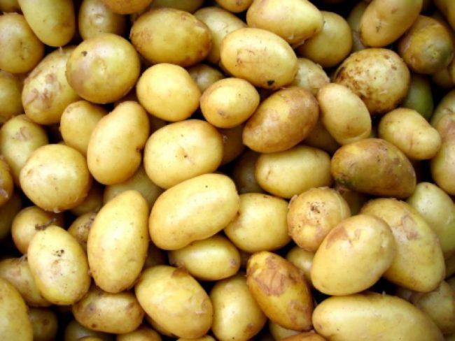 Корнеплоды ранней картошки селекционного сорта Венета