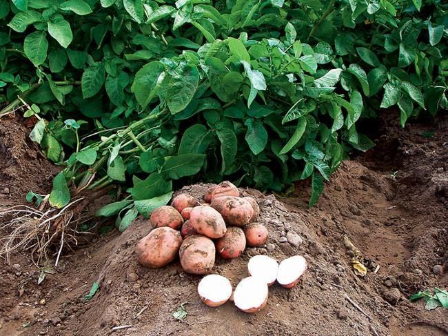 Выкопанные на пробу клубни картофеля столового сорта Любава