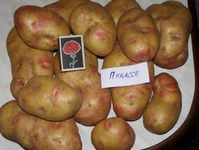 Мытый картофель столового сорта Пикассо голландской селекции