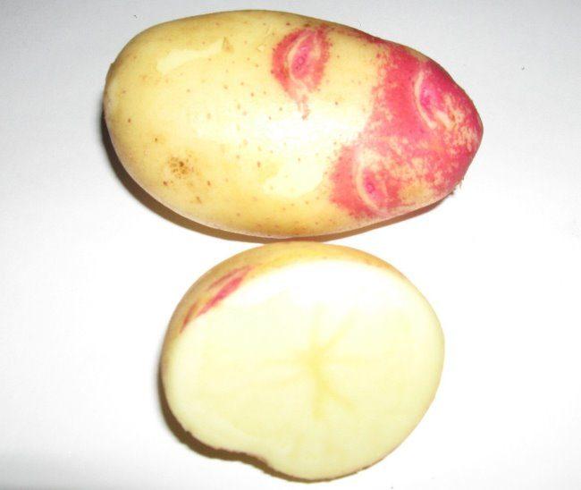 Корнеплод картофеля с кремовой мякотью голландского сорта Пикассо