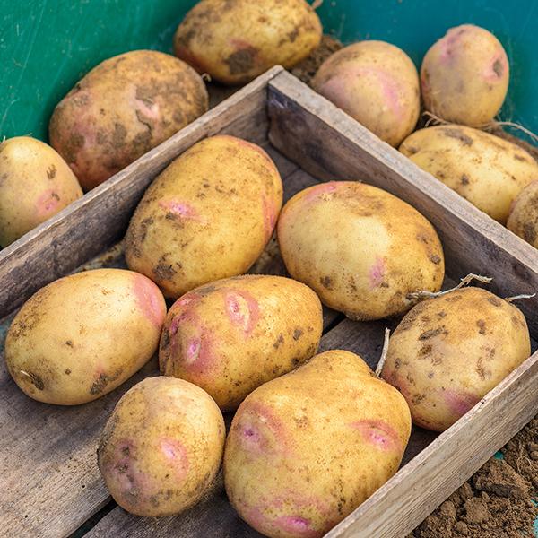 Клубни картошки сорта Пикассо в деревянном ящике