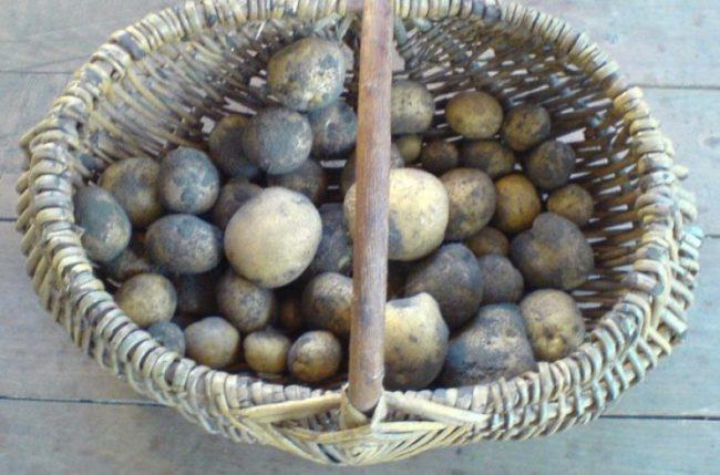Корзина с картошкой, подготовленной к хранению в погребе