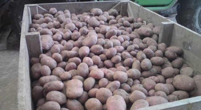 Красный картофель на хранении в погребе частного хозяйства