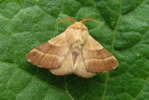 Серая бабочка кольчатого шелкопряда на листе груши