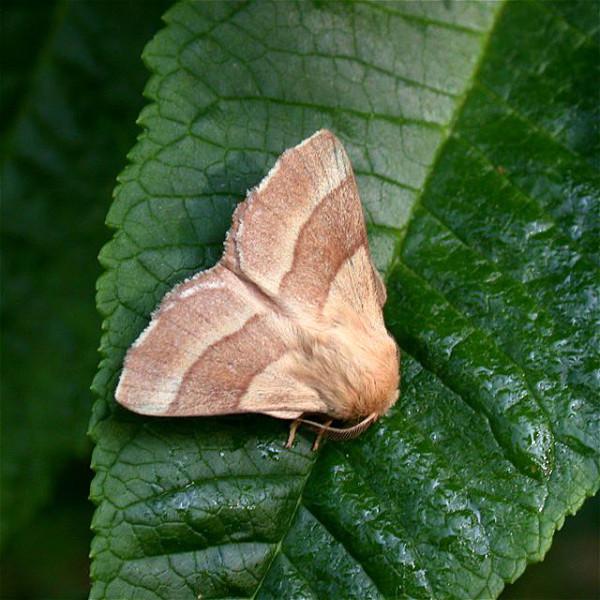 Бабочка кольчатого шелкопряда на листе груши