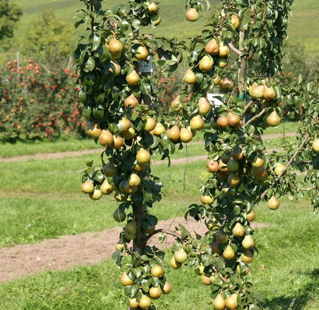 Две колоновидные груши, усыпанные созревающими плодами