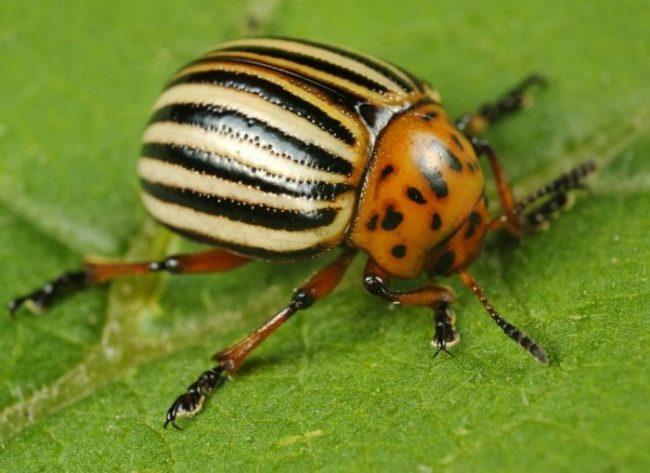 Взрослая особь колорадского жука вблизи на листе картошки