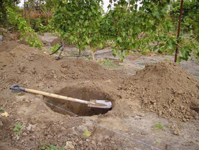 Подготовка посадочной ямы для деревца груши на Урале