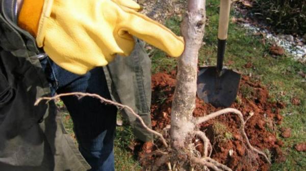 Садовник показывает месторасположения корневой шейки на саженце груши