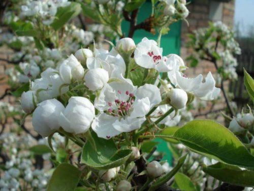 Цветки грушевого дерева сорта Красавица Черненко вблизи
