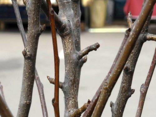 Фото веток груши сорта Красавица Черненко