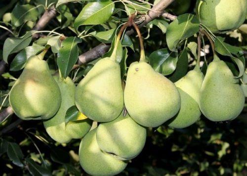 Плоду груши сорта Лесная Красавица в стадии технической спелости