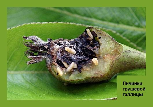 Фото личинок грушевой галлицы в момент поедания плода