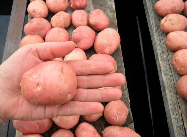Клубень картошки сорта Любава вблизи на ладони огородника