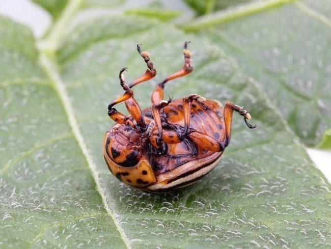 Мертвый колорадский жук на листе картофеля