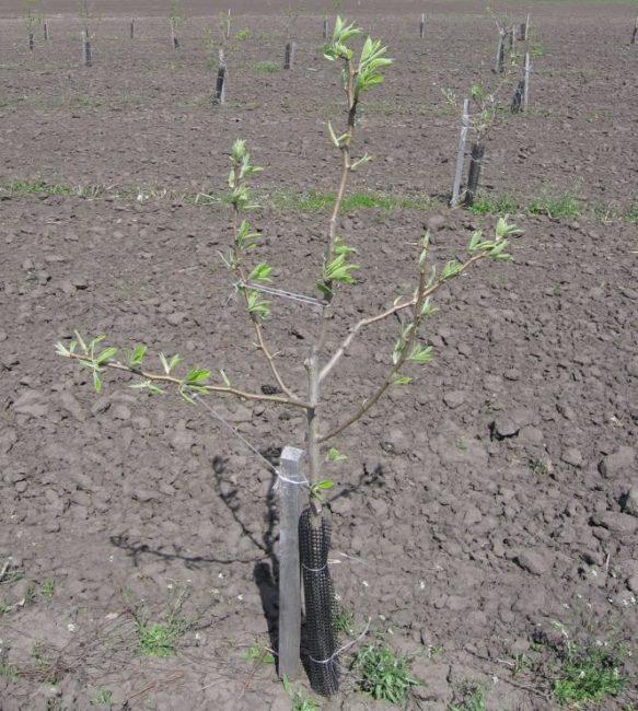 Молодые саженцы груши после посадки на постоянное место произростания