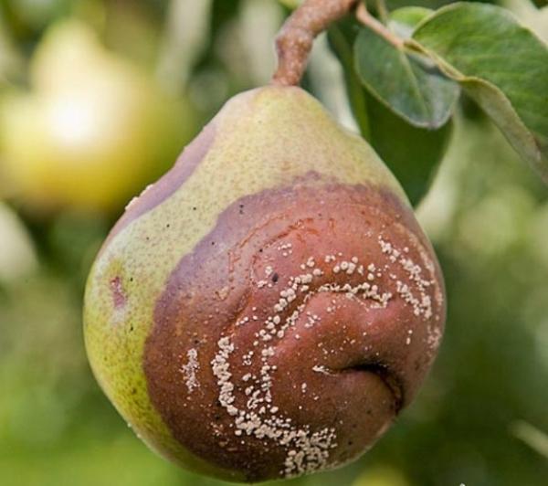 Плодовая гниль или монилиоз груши, фото крупным планом