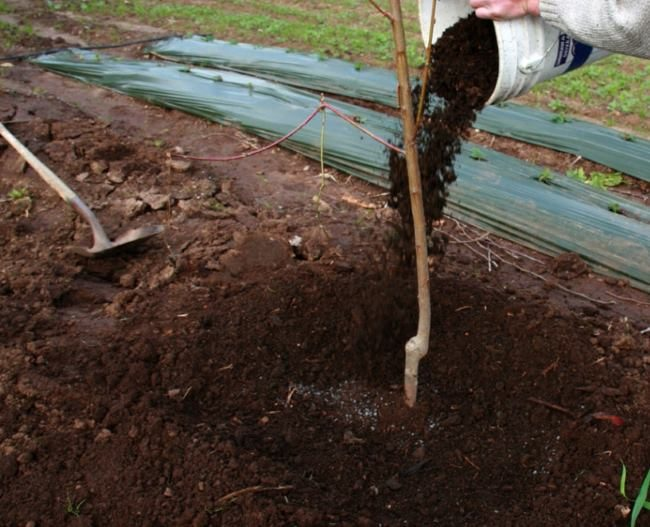 Мульчирование саженца груши сразу после посадки на постоянное место