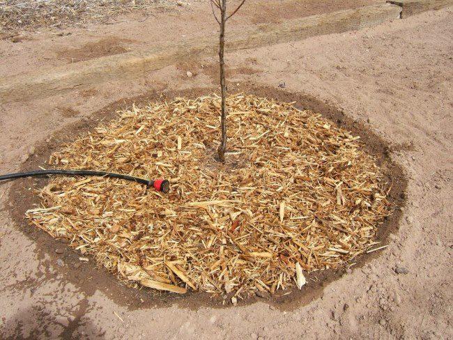 Мульчирование посаженного деревца груши опилками